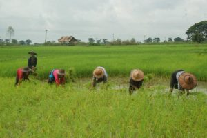 Farmers plant paddy traditionaly at a field in Pauktal Village, Bago Region. Photo: Thant Zin Win