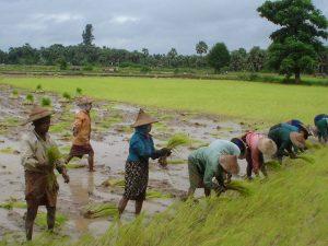 Farmlands in Burma. Photo by Rijstvelden, taken on 7 October 2006. Licensed under CC BY-SA 3.0